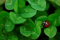 Ladybug In Bright Green Clover Leaves