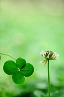 Four Leaf Clover, Close_Up View