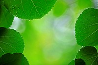 Bright Green Leaves With Tiny Drops, Close_Up View