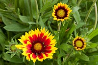 Gaillardia or Blanket flower (Gaillardia x grandiflora), Botanical Garden, Bochum, North Rhine-Westphalia, Germany, Europe