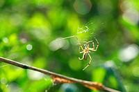 Black & Yellow Garden Spider male