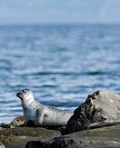 Harbour or Harbor Seal (Phoca vitulina), Westfjords or West Fjords, Iceland, Europe