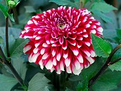 Red White Dahlia Flower
