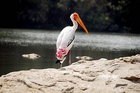white Painted Stork Migratory Bird isolated