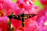 butterfly on pink hollyhock flower