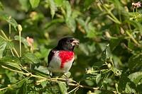 Rose_breasted Grosbeak Pheucticus ludovicianus adult male, feeding on berries, Quintana, Brazoria County, Texas, U S A , april
