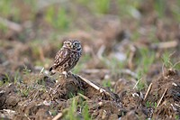 Little Owl Athene noctua adult, standing on ground in set_aside field, Suffolk, England, june