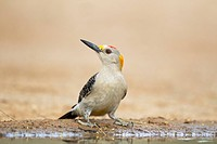 Golden_fronted Woodpecker Melanerpes aurifrons adult male, drinking at pool, South Texas, U S A , may
