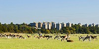 Fallow Deer Dama dama herd, grazing in parkland habitat, with people and city towerblocks in background, Richmond Park, London, England, october