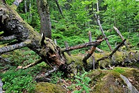 Fallen and broken tree trunk covered in moss, left to rot on forest floor as dead wood habitat for invertebrates, Pyrenees, France