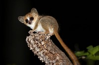 Reddish_grey Mouse Lemur Microcebus griseorufus adult, sitting on branch at night, Berenty Reserve, Madagascar
