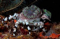 Decorator Crab Cyclocoeloma tuberculata adult, with corals on shell, Farondi Island, Raja Ampat Islands Four Kings, West Papua, New Guinea, Indonesia