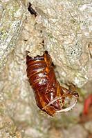 Hornet Clearwing Sesia apiformis empty chrysalis, emergence hole at base of poplar trunk, Norfolk, England, june