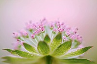 Astrantia major ´Buckland´, Astrantia, Masterwort