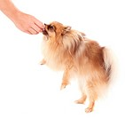 Trainer giving a treat to a pomeranian dog _ copyspace