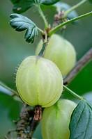 Ribes uva_crispa, Gooseberry