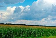 corn field over cloudy blue sky