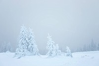 winter fir trees
