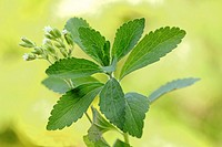 Stevia plant with flowers