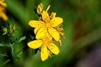 St. Johns Wort Flower