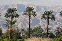 Palm Trees At Sunset With Desert Mountain Range In The Distance With Blue Sky, Palm Springs California United States Of America