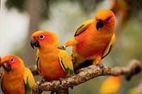 Orange Parakeets, Chiang Mai Thailand