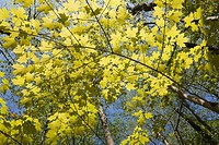 Backlit Maple Tree Branches At Springtime, Laval Quebec Canada