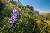 Lupine on the side of a hill, sutter buttes california united states of america