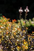 Blooming Maquis near Calvi, Corsica, France