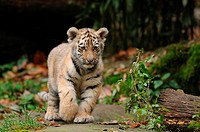 Young Siberian tiger Panthera tigris altaica walking