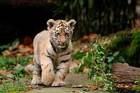 Young Siberian tiger Panthera tigris altaica walking