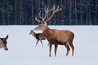 Red deer Cervus elaphus in snow