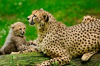 Young Cheetah Acinonyx jubatus with mother