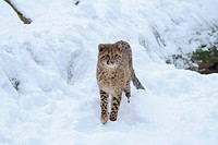 Cheetah cub Acinonyx jubatus in snow