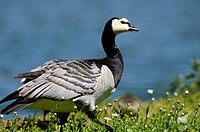 Barnacle Goose Branta leucopsis