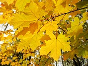 autumn leaves of maple tree