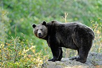 Eurasian brown bear Ursus arctos arctos standing