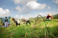 Rice fields, jatiluwih bali indonesia