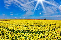 Solar spring day in fields buttercups