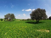 Green spring field with camomiles