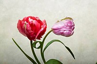 Red and violet Tulip