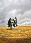 Huge field and some pines