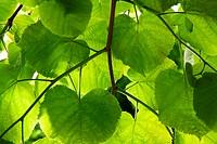 Lime_tree leaves