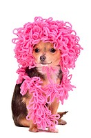 Chihuahua puppy wearing knitted curly pink hat and scarf