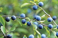 Prunus spinosa, Blackthorn, Sloe