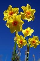 Gelbe Narzissen mehrblütig 2