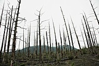 Rows of bare trees in the Dead Forest near the Tolbachik Volcano, Russia
