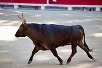A bull in an arena