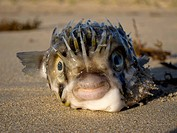 Balloonfish Diodon Holocanthus on sand