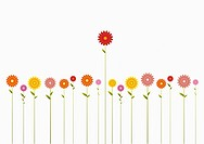 A row of various colored Gerbera Daisies and one towering above them (thumbnail)
